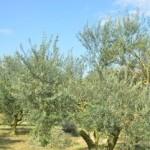 オリーブ成木と青空